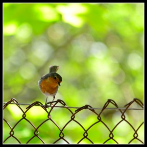 bird on fence framed